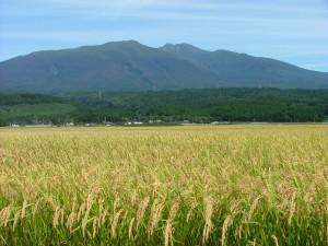 実力NOワン! 令和2年産 山形県庄内産 はえぬき 特別栽培米 さとうの米 精米3kg